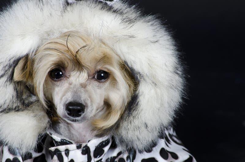 Perro con cresta chino imágenes de archivo libres de regalías