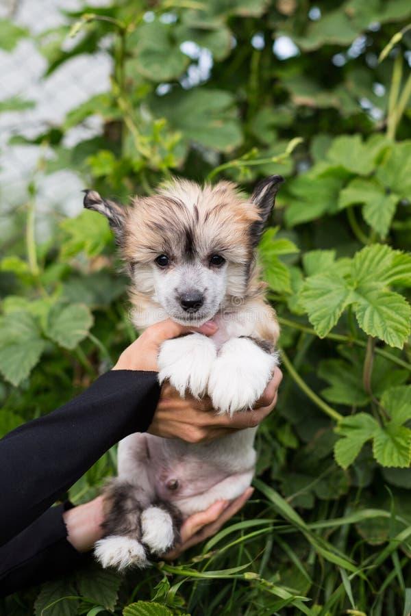 Perro con cresta chino de la raza sin pelo ambarina hermosa del perrito en las manos de su due?o en fondo natural verde fotografía de archivo libre de regalías
