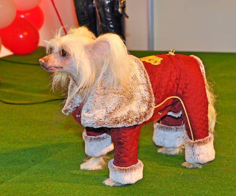 Perro con cresta chino de la ropa fotos de archivo