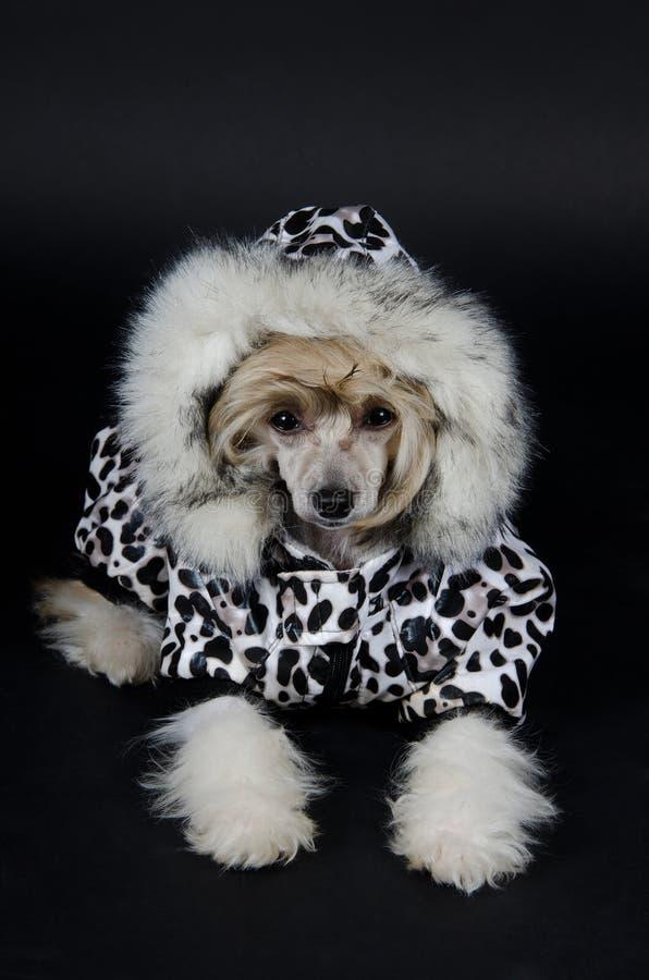Perro con cresta chino lindo foto de archivo