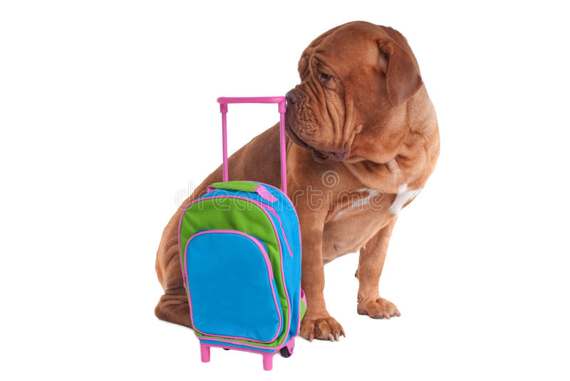 Perro con el bolso del recorrido fotografía de archivo libre de regalías