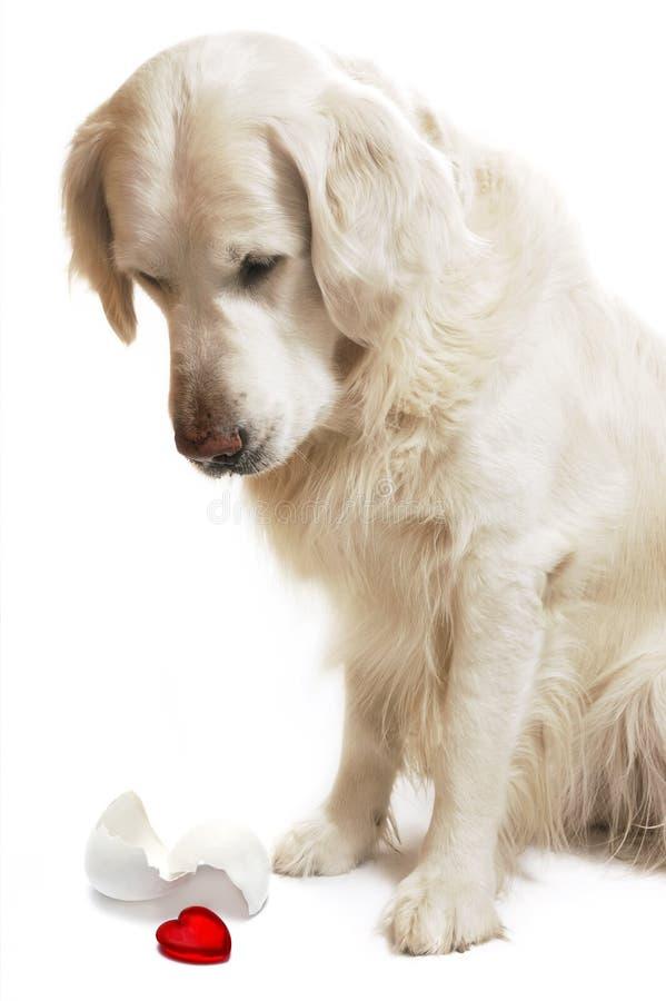 Perro con el corazón rojo fotos de archivo