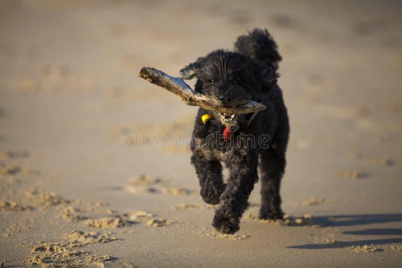 Perro con el palillo en la playa fotos de archivo