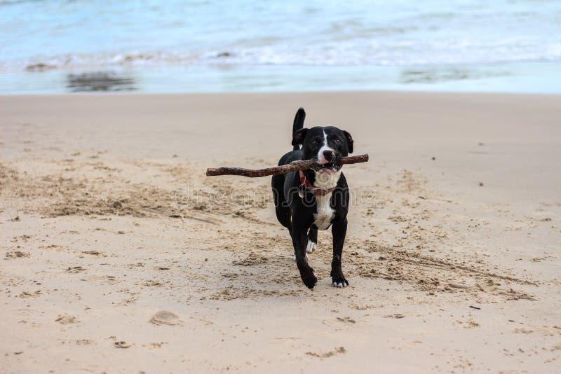 Perro con el palillo que corre en la playa foto de archivo libre de regalías