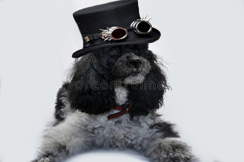 Perro con el primero de Drácula fotografía de archivo libre de regalías