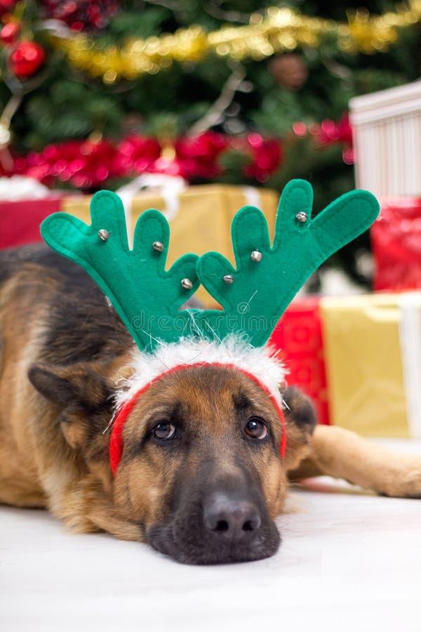 Perro con el sombrero de las astas de los ciervos en Nochebuena, el árbol de navidad y g imágenes de archivo libres de regalías