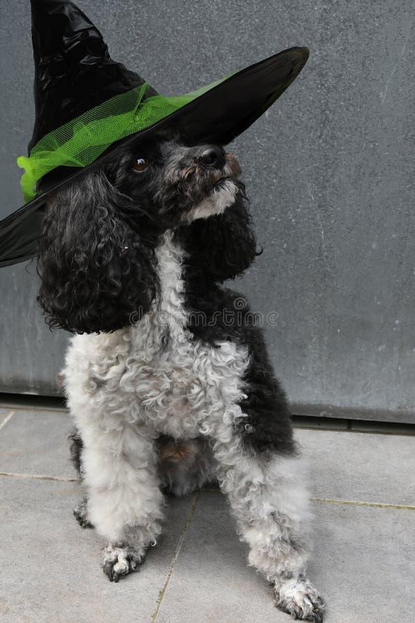 Perro con el sombrero para Halloween fotos de archivo