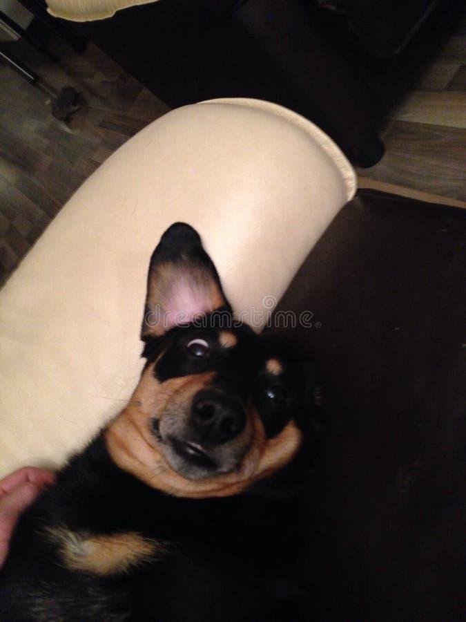 Perro con la cara loca imagen de archivo libre de regalías