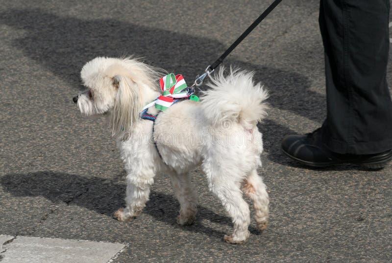 Perro con la escarapela coloreada húngara fotos de archivo libres de regalías