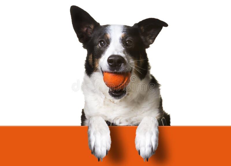 Perro con la muestra de la bola imágenes de archivo libres de regalías