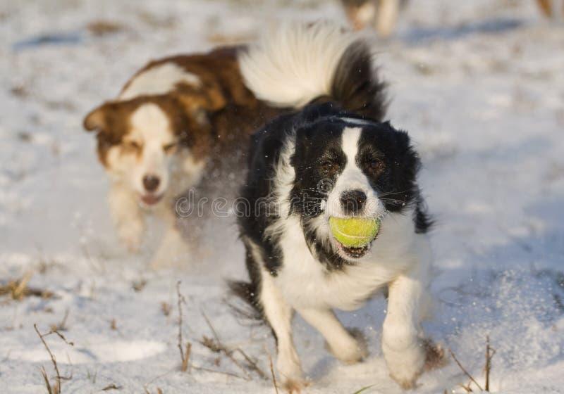 Perro con la pelota de tenis fotografía de archivo