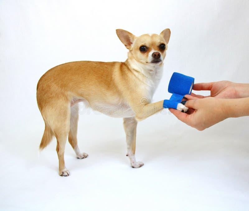 Perro con la pierna del daño imagen de archivo