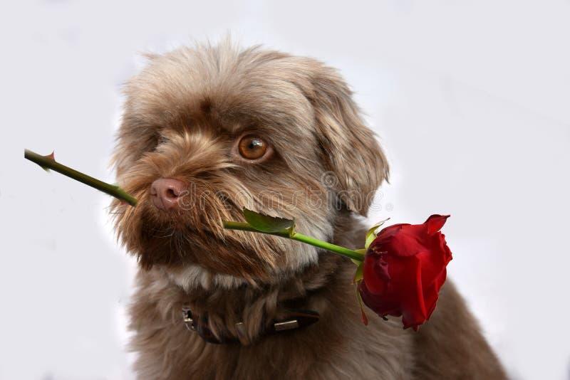 Perro con la rosa del rojo fotos de archivo