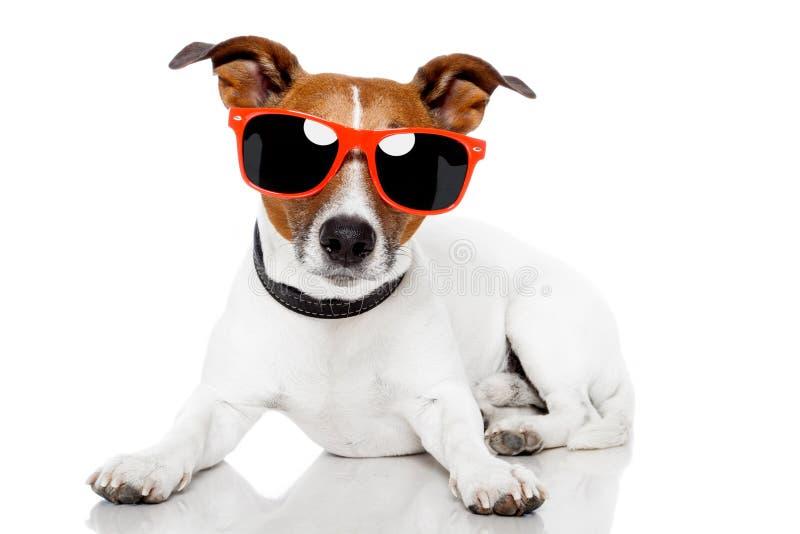 Perro con las cortinas rojas encendido fotografía de archivo