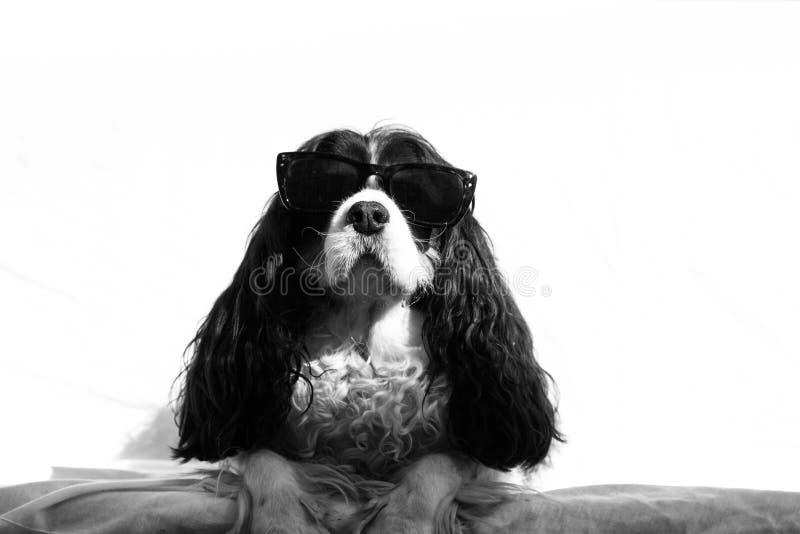 Perro con las gafas de sol foto de archivo libre de regalías