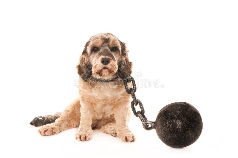 Perro con los grillos fotografía de archivo libre de regalías