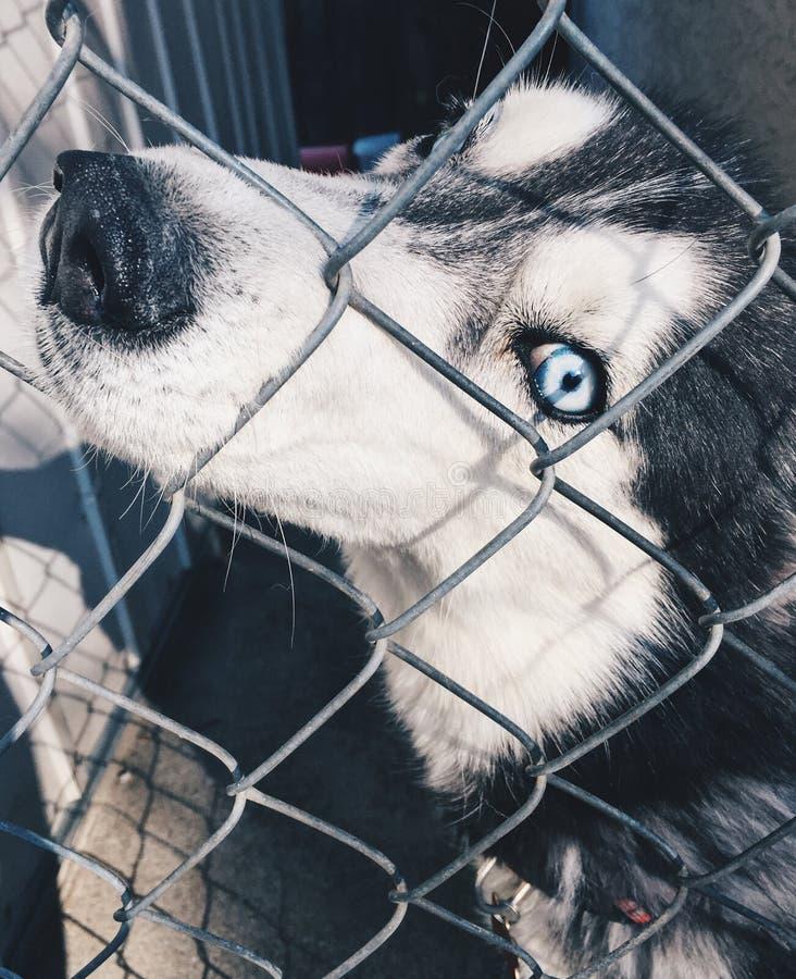 Perro con los ojos azules imágenes de archivo libres de regalías