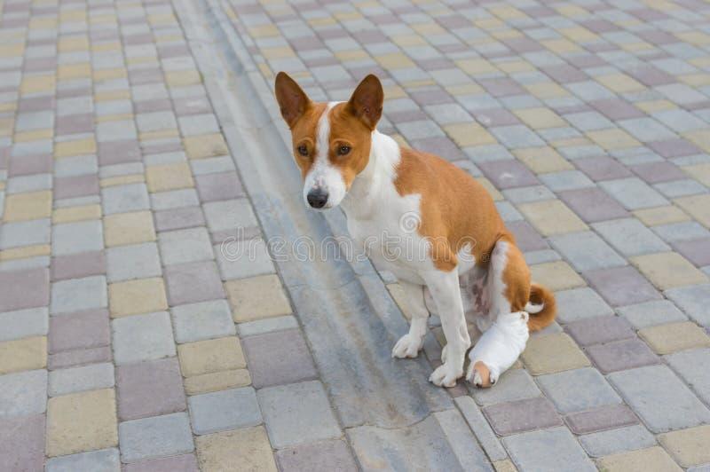 Perro con los pies traseros vendados quebrados que se sientan en un pavimento imagenes de archivo