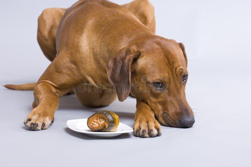 Perro con los rollmops imagenes de archivo