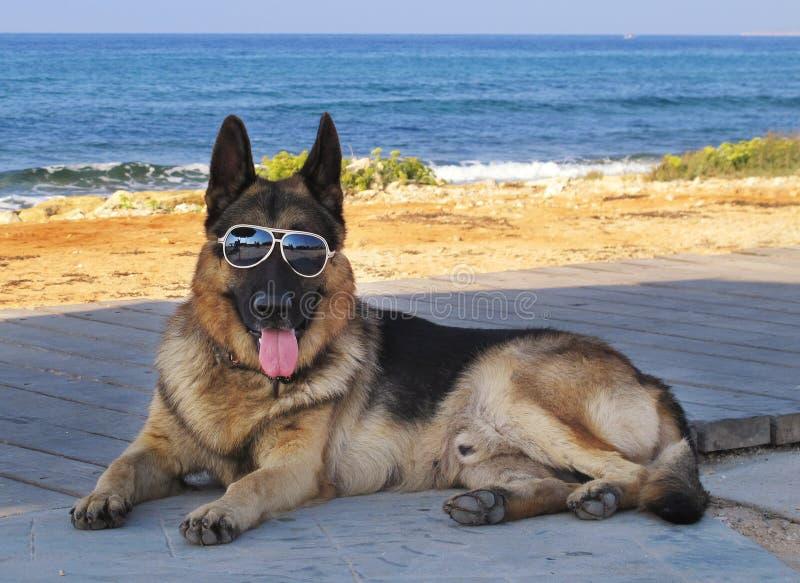 Perro con los vidrios fotos de archivo