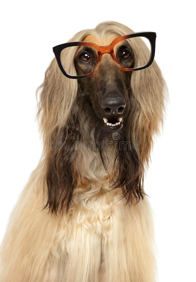 Perro con los vidrios en el fondo blanco imagen de archivo