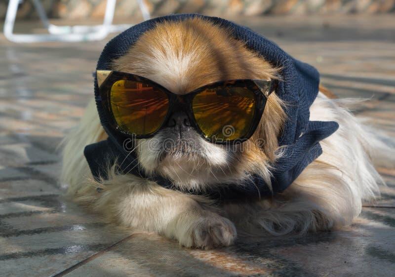 Perro con los vidrios oscuros 02 foto de archivo libre de regalías