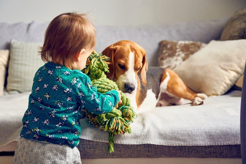 Perro con un bebé caucásico lindo La mentira del beagle en el sofá, bebé viene con el juguete jugar con él imagenes de archivo