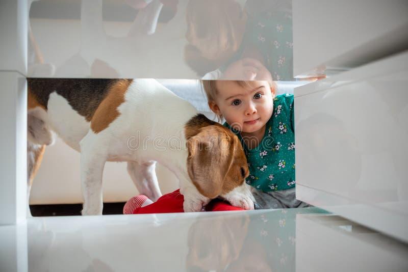 Perro con un bebé caucásico lindo Toma del perro del beagle y muñeca de la mordedura del bebé lindo en sala de estar Espacio apre fotos de archivo