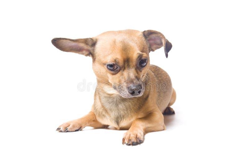 Perro con un oído doblado imagenes de archivo