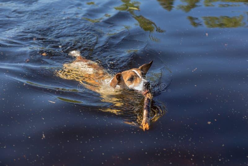 Perro con un palillo de madera en sus dientes foto de archivo libre de regalías