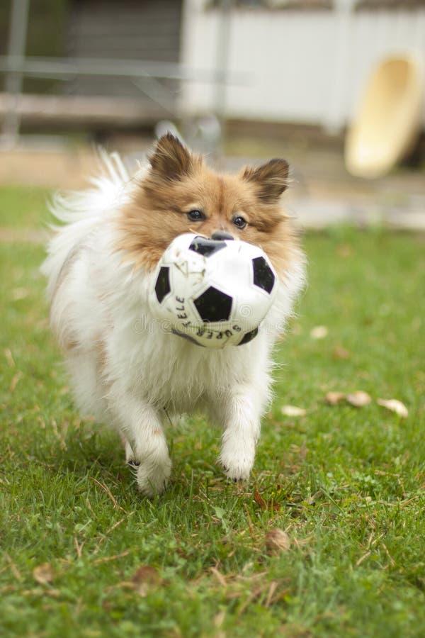 Perro con una bola fotografía de archivo