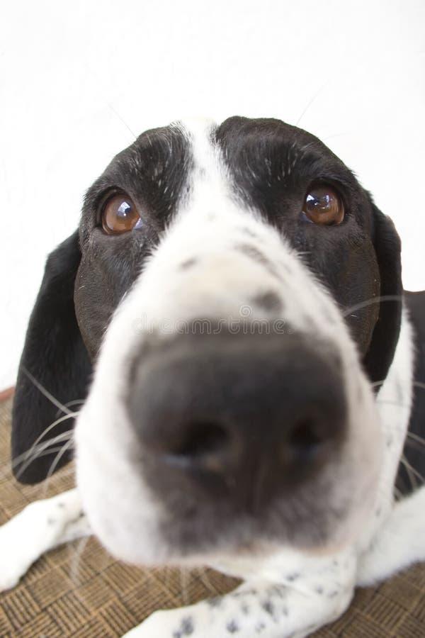 Perro con una nariz grande imagen de archivo