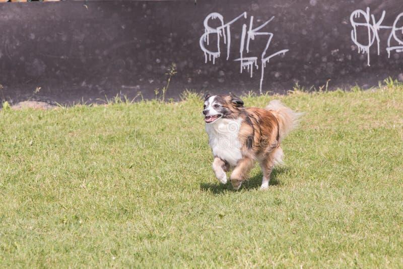 Perro continental de Toy Spaniel fotografía de archivo