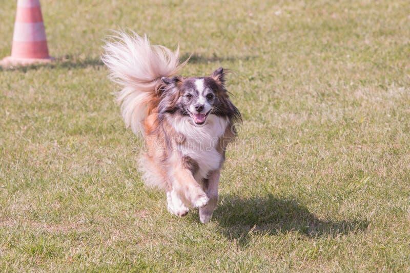 Perro continental de Toy Spaniel que vive en Bélgica foto de archivo