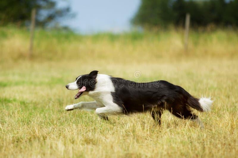 Perro corriente del border collie imágenes de archivo libres de regalías