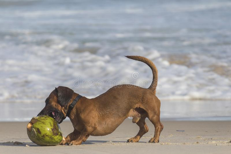 perro Cortocircuito-revestido de Brown al lado del coco Shell imagen de archivo libre de regalías