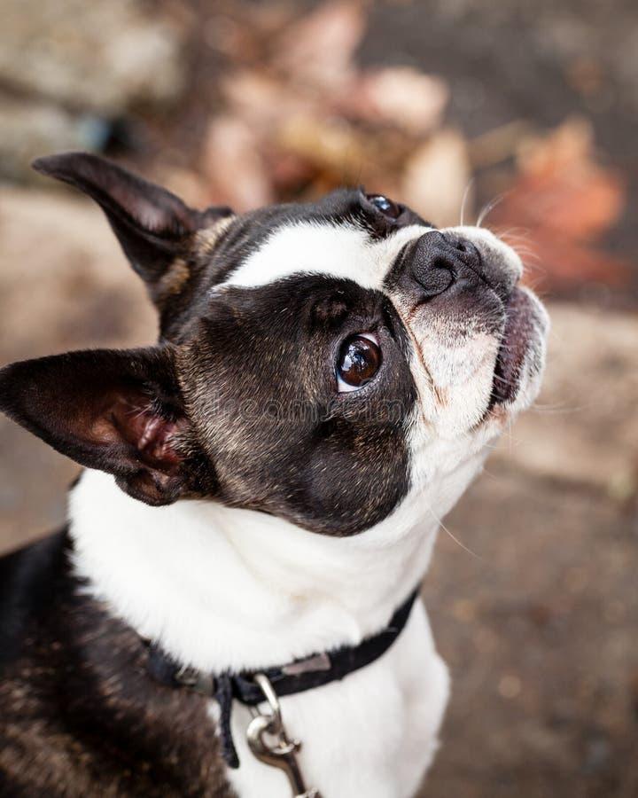 Perro criado en línea pura de Boston Terrier que mira para arriba en la calle fotos de archivo