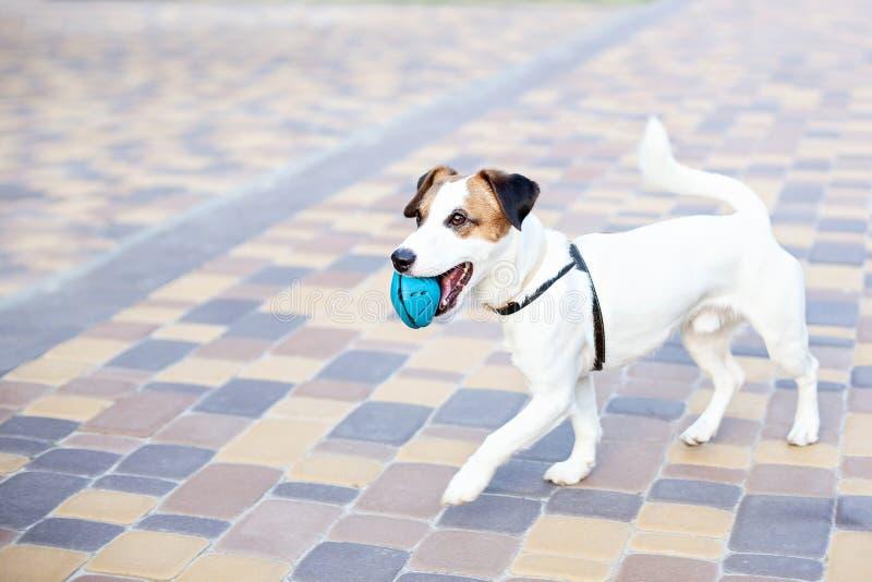 Perro criado en línea pura de Jack Russell Terrier que corre al aire libre El perro feliz en el parque en un paseo juega con un j foto de archivo