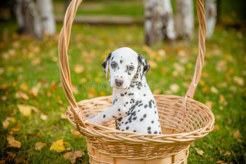 Perro dálmata adorable al aire libre en el verano, otoño Pequeño perrito dálmata, lindo en cesta Pequeño perro nacional lindo bue fotografía de archivo
