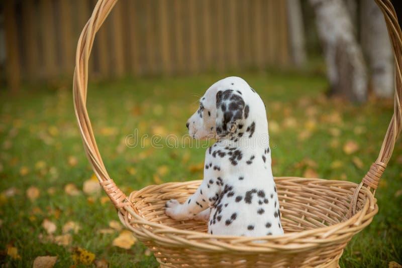 Perro dálmata adorable al aire libre en el verano, otoño Pequeño perrito dálmata, lindo en cesta Pequeño perro nacional lindo bue foto de archivo libre de regalías