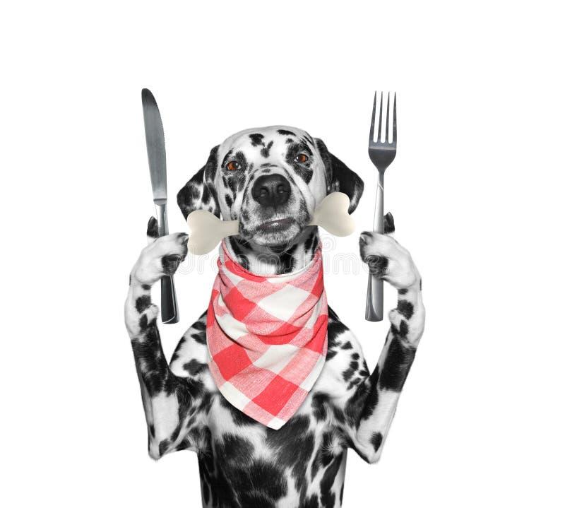 Perro dálmata hambriento con el cuchillo, la bifurcación y el hueso en su boca Aislado en blanco imagen de archivo