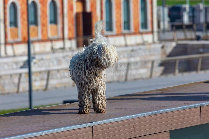 Perro de agua español cántabro - raza del perro de aguas foreground fotos de archivo