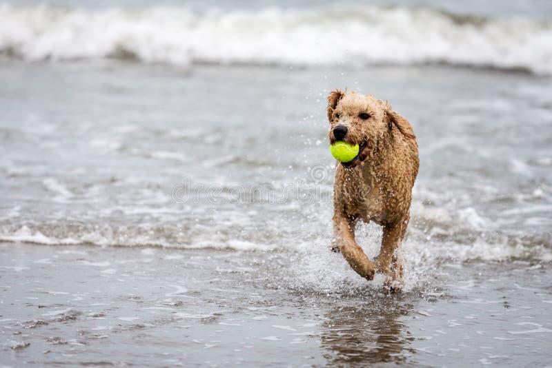 Perro de agua español con la bola en el océano imagen de archivo