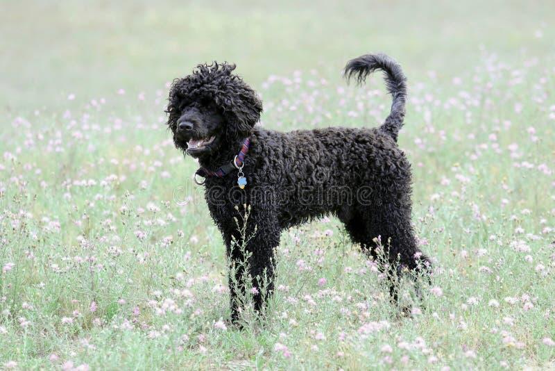 Perro de agua portugués negro en un prado del verano fotos de archivo libres de regalías