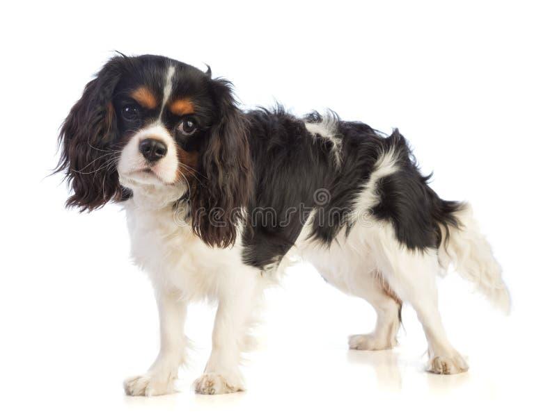 Perro de aguas arrogante de rey Charles que se coloca y que mira todo derecho imagenes de archivo