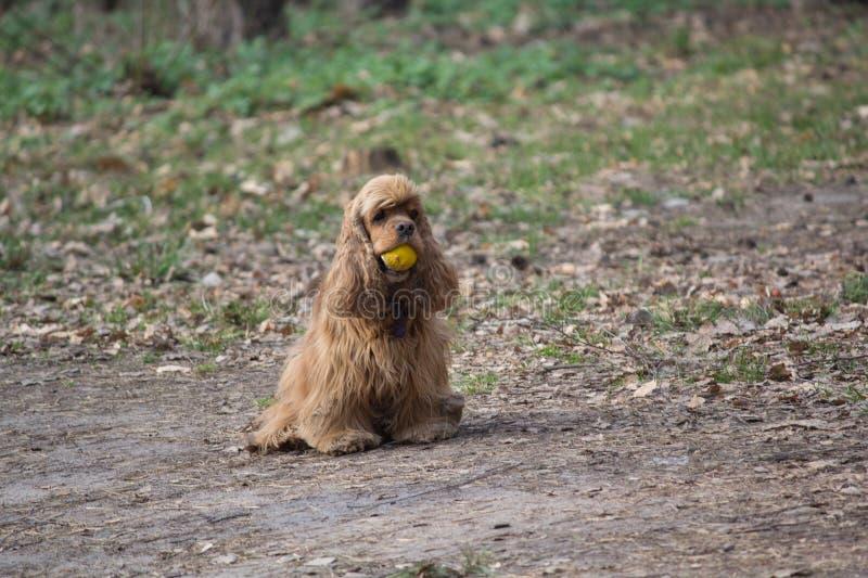 Perro de aguas con una bola en un paseo en el parque imágenes de archivo libres de regalías