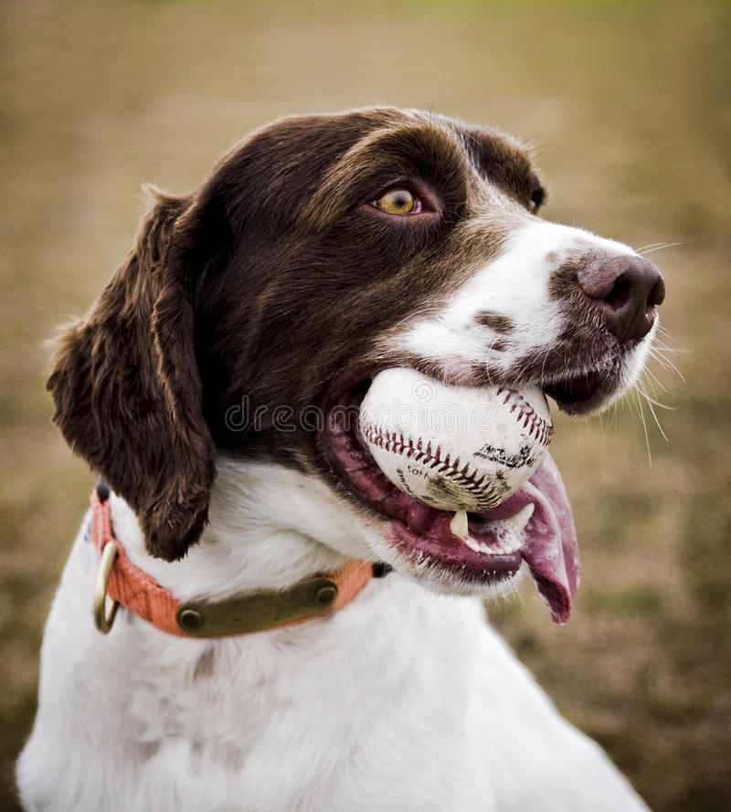 Perro de aguas de Bretaña imagen de archivo
