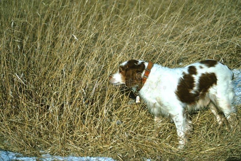 Perro de aguas de Bretaña en punta fotografía de archivo libre de regalías