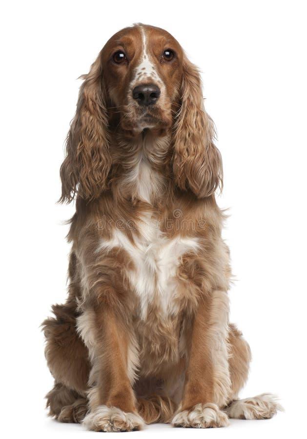 Perro de aguas de cocker americano, 3 años, sentándose foto de archivo