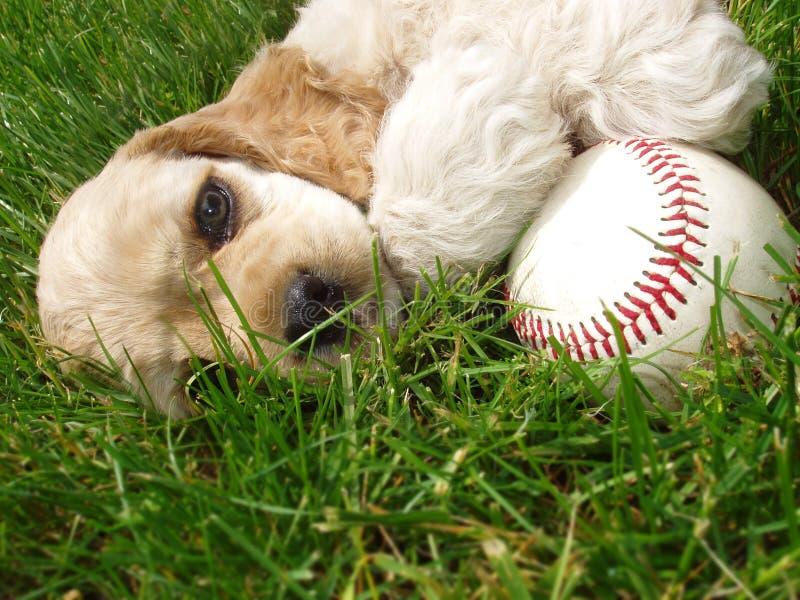 Perro de aguas de cocker con béisbol imagen de archivo libre de regalías